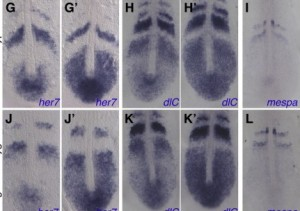 Waves of gene expressions in wild and mutated zebrafish embryos from François' recent paper. (www.sciencedirect.com)